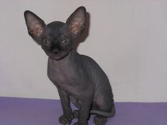 In the future, I plan to have a Black Sphynx. Who will be named Sixx (no matter how many I get). (c/o Google Images)