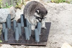 On of our raccoons, outplaced to Helsinki Zoo. They do a pretty good job at Helsinki Zoo, making challenging enrichment for these handy fellows!