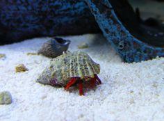 Red-legged hermit crab in my saltwater aquarium.