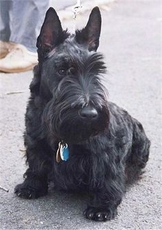 A low to the ground black Scottish Terrier dog with loner hair on its face is sitting on a blacktop surface. It is looking down and to the right.
