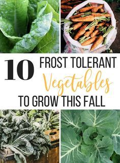 Hydroponic Gardening Ideas 10 of the best vegetables to grow this fall - you will want to plant these hardy, frost tolerant vegetables - Winter Vegetables, Organic Vegetables, Growing Vegetables, Vegetables Garden, Hydroponic Gardening, Hydroponics, Container Gardening, Gardening Hacks, Urban Gardening