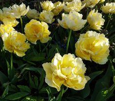 Tulipa 'Verona' Verona, Rose, Flowers, Plants, Tulip, Pink, Plant, Roses, Royal Icing Flowers
