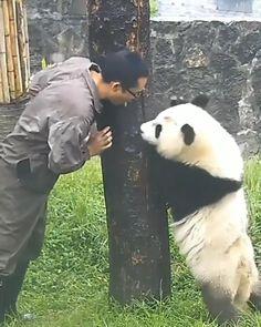 Panda Funny, Cute Panda, Cute Animal Videos, Funny Animal Pictures, Cute Little Animals, Cute Funny Animals, Animal Antics, Cute Creatures, Panda Bear