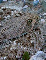 It's Rattlesnake Time; Be Aware, Compassionate, Group Says.