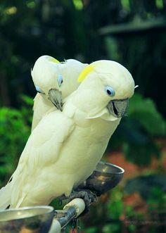 Cacatúa de moño amarillo (Cacatua galerita). Se distribuye por los bosques tropicales y subtropicales deAustralia,Papúa Nueva Guinea eIndonesia. Ha sido introducida en Nueva Zelanda, Palaos, Singapur y Puerto Rico.