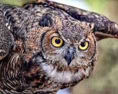 horned owl - Google Search