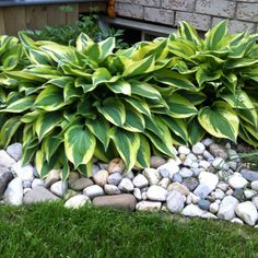Wolverine Hosta - used river rock as a border to retain soil and loved the end result