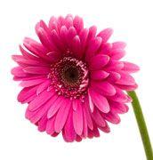 flower Pink Gerbera, Pink Petals, Image Now, Nature Photos, Bold Colors, Magenta, Hot Pink, Pink Stuff, Stock Photos