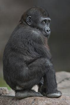 Monroe the baby lowland gorilla at the San Diego Zoo's Safari Park. Taken on October 23, 2013.