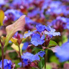 Neuer Steckbrief auf @pflanzkompass   Eigentlich findet sich in fast jedem Garten ein Platz, wo die Bleiwurz unentbehrlich ist. Freilich, das Blau ist beeindruckend, aber dazu die Herbstfärbung und die Mediterrane Stimmung, die es verbreitet! Wacholder oder Zypressen, unterpflanzt mit Bleiwurz sind eine Augenweide und dazu praktisch pflegefrei. Instagram, Cypress Trees, Mood, Plants, Lawn And Garden
