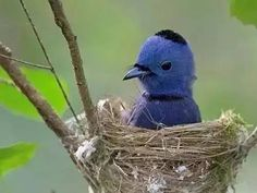 The black-naped monarch or black-naped blue flycatcher (Hypothymis azurea) is a slim and agile passerine bird belonging to the family of monarch flycatchers. Kinds Of Birds, All Birds, Little Birds, Love Birds, Exotic Birds, Colorful Birds, Pretty Birds, Beautiful Birds, Beautiful Life