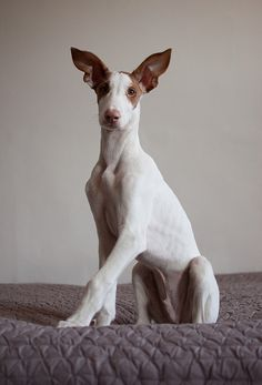 Ibizan Hound - cousin to the greys. My future husband doesn't know this yet, but he's getting this for our first Christmas together. No arguments.