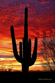 Saguaro on Fire, Saguaro National Park in Tucson, Arizona