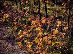Fall's Last Hurrah  I captured these leaves that were tucked under the bare trees along a trail I was walking. What a pleasant surprise they were as I came upon them.
