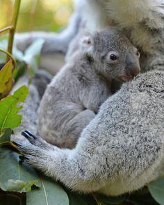 First Koala Joey Of The Season Born At Australia Zoo - (huffingtonpost) Cute Funny Animals, Cute Baby Animals, Animals And Pets, Baby Koala, Koala Bears, Koala Marsupial, Quokka, Australia Animals, Animals Beautiful