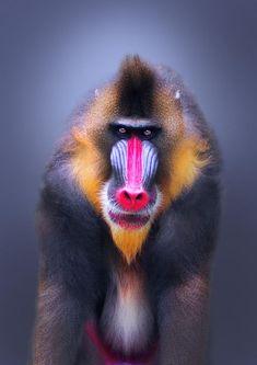 Primate - Mandrill - by Sham Jolimie