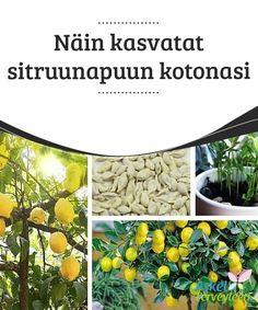 Näin kasvatat sitruunapuun kotonasi   Vältä #sitruunan #kasvatuksessa kovin runsasta #kastelua.  #Mielenkiintoistatietoa