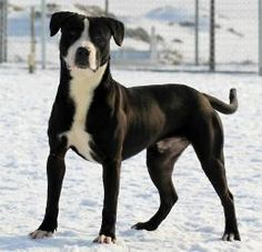 Duke - BBDR is an adoptable Pit Bull Terrier Dog in Boise, ID. ADOPTIVE OR FOSTER HOME NEEDED: It's a well-known but sometimes forgotten fact: puppies grow. Sweet, energetic Duke can't help it that he...