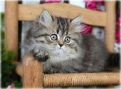 Tabby Teacup Persian Kitten