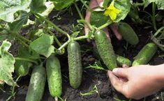 Garden Gates, Herb Garden, Beauty Tips For Skin, Natural Garden, My Secret Garden, Trees To Plant, Landscape Art, Gardening Tips, Cucumber