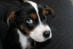 My new grand dog.  What do you think? Bernese Mountain Dog? Thought to be Boston Terrier-Beagle mix? Cute, cute, cute puppy.