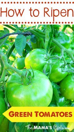 How to Ripen Green Tomatoes- There is always an abundance of green tomatoes. Here's how to ripen them up quickly.