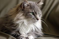 Adorable Maine Coons #cats #pets #kittens