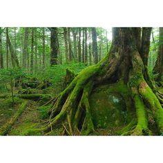 【nag_aka4050】さんのInstagramをピンしています。 《いのちの森 先日 初めて白駒池に行きました。 自分が思っていた以上に 素晴らしく最高な場所で とっても癒やされました😊🎵 もっと居たかった🌿🌿 . @dais_616  色々教えてくれてありがとう🌈 やはり羽織る物あってよかった😂⤴⤴ . . しばらくギャラリー緑です(笑)  #長野県#白駒池#諏訪カメラ部 #森#緑#日本 #夏#もののけ姫の森 #景色#風景#木々 #team_jp_#植物 #カメラ女子#苔#日本 #lovers_nippon#一眼レフ #canon#写真好きな人と繋がりたい #ファインダー越しの私の世界 #ig_japan#igersjp#岩 #japan_daytime_view #wp_japan#whim_life #phos_japan#太古 #東京カメラ部#green》