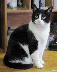 Sophia is an adoptable Domestic Short Hair-Black And White Cat in Milwaukee, WI. Sophia came in with sister Indy, and gets along with other cats but would also be fine as an only cat.. She's extremely...