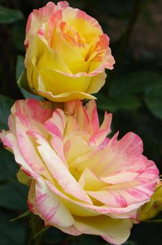 """yellowrose543: """"Two pink and yellow roses Flickr.com """""""