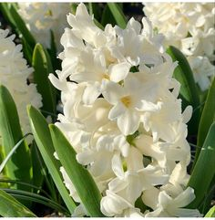 Dark Plum Flowers, Peach Flowers, All Flowers, White Flowers, White Hyacinth, Hyacinth Flowers, Purple Calla Lilies, Asiatic Lilies, Blush Peonies