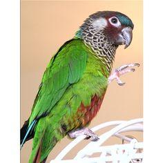Painted Conure - Picasso was the best pet! Cockatiel, Budgies, Parrots, Conure Bird, Pretty Birds, Exotic Birds, Bird Species, Wild Birds, Picasso