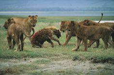 Lions vs hyena (Pixgood, 2015)