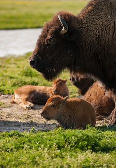 Bison with calves - Untitled by edgar orellana Animals And Pets, Baby Animals, Cute Animals, Beautiful Creatures, Animals Beautiful, Beautiful Babies, Baby Bison, Baby Buffalo, Buffalo Animal
