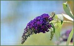 Black Knight Buddleia - Butterflies are happy now their favorite plant is flowering.