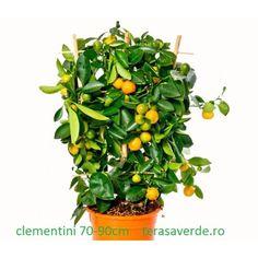 Clementini 80-100cm