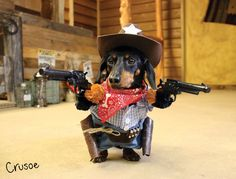 Crusoe the Cowboy! #dachshund #cowboy