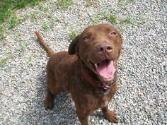 Purebred Chesapeake Retriever dog available for adoption from Homeward Bound Animal Welfare Center in VT.  Young, housebroken, smart!  browndog cbr