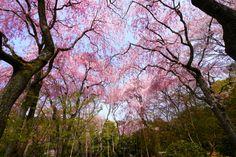 Spring in Kyoto by Yasutoshi Yamamoto on 500px