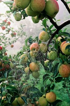 Garden spiders on dewy webs, count them in your garden on crisp Autumn mornings.  Spider web in apple tree - Wistfully Country