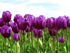 tulips | Tulips