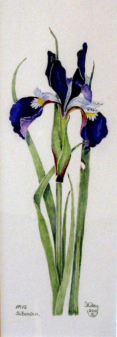 siberian iris watercolor | siberian iris iris edey iris edey is a british born artist who came to ...