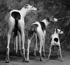 Greyhound > Whippet > Italian Greyhound
