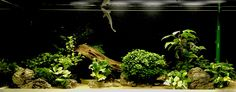 View of Anubias