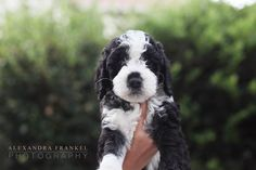 Labradoodle puppy black and white