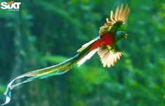 People travel to Costa Rica from all over the world looking for the resplendent Quetzal. The Mayans and the Aztecs tought of these birds as gods due to their incredible beauty and their seemingly miraculous ability to foretell rainstorms with their nesting patterns. #CostaRica #Nature #friends#follow4follow #wildlifeplanet #natureaddict #followme #wildlife #mothernature #instadaily #picoftheday #wildlifeonearth #SixtRentaCar #love #family #naturelovers #sixt #bird #birdwatching…