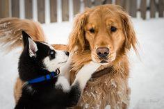 Husky and Golden.