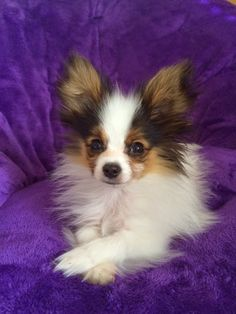 Road's End Papillons : 4.5 old Papillon Puppy