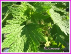 Motherwort is truly a woman's herb. Truly a good herb to know. There's a long list of helpful healing attributes ~ gifts from this special herbal powerhouse