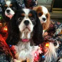 Our attempt at taking a picture decorated in Xmas lights resulted in Chloe looking like a 3-headed Cav! #cavlife